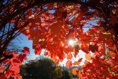 Sun que espreita através das folhas vermelhas da videira do outono Daylesford, VIC Australia fotos de stock royalty free