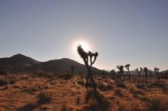 Sun que faz a silhueta de Joshua Tree Fotos de Stock Royalty Free