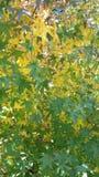 Sun que outfining o eucalipto Imagem de Stock