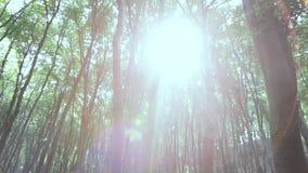 Sun que se rompe a través de árboles de haya almacen de video