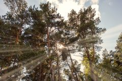 Sun ray beam. Through the tree branches Stock Photography