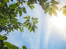 Sun ray with blue clouds sky and fresh foliage. Fresh green of sunshine filtering through leaves.  stock photo