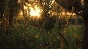 Sun ray breaking through pine tree, summer forest during sunset or sunrise stock video