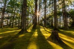 Sun ray coming through pine forest in Obi, Kyushu, Japan Stock Photos