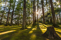 Sun ray coming through pine forest in Obi, Kyushu, Japan Stock Image