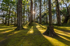 Sun ray coming through pine forest in Obi, Kyushu, Japan Stock Photography