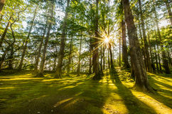 Sun ray coming through pine forest in Obi, Kyushu, Japan Stock Images