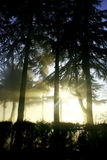 Sun ray in a foggy day. Sun ray though pine trees in a foggy winter day Royalty Free Stock Photos