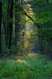 Sun ray in forest Royalty Free Stock Photography