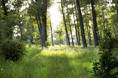 A Sun ray in the forest. A Sun ray in the green forest Royalty Free Stock Photos