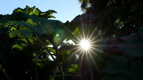 Sun ray through giant rhubarb leaves stock video footage
