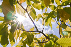 Sun ray  between green leaves. With blue sky Stock Photo
