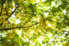 Sun ray. Green leaves with sun ray background Royalty Free Stock Images