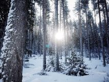 Sun ray lights behind pine tree Royalty Free Stock Photography
