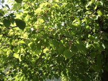 The sun ray between magic green. The sun`s ray between green leaves of apricot tree creates a wonderful view Stock Image