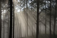 Sun ray in a pine forest. Beautiful sun light in a pine forest at Dalat, Vietnam. The city is famous for its landscapes and chilled weather Stock Photo