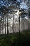 Sun ray in a pine forest. Beautiful sun light in a pine forest at Dalat, Vietnam. The city is famous for its landscapes and chilled weather Royalty Free Stock Photo