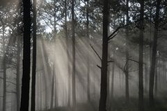 Sun ray in a pine forest. Beautiful sun light in a pine forest at Dalat, Vietnam. The city is famous for its landscapes and chilled weather Stock Photography