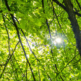 Sun ray streaming through the foliage Stock Image