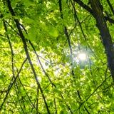 Sun ray streaming through the foliage. Of poplars Stock Image