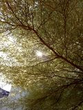 Sun ray. In between the thin leave of tree Royalty Free Stock Photos