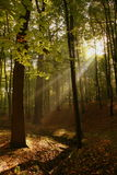 Sun ray woods. Sun rays in the woods on an autumn day Royalty Free Stock Photography