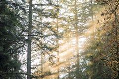 Sun rayonne allumant le brouillard flou dans les arbres du nord-ouest Pacifique Image stock
