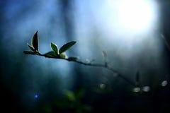 Sun rayonne le ressort de branches de bourgeons de feuille d'éclat Images libres de droits