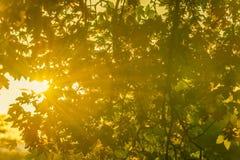Sun rayonne par des branches et des feuilles d'arbre Image stock