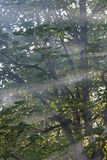 Sun rays. Among the trees Royalty Free Stock Photography