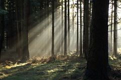 Sun rays. Misty sun rays in  forest Royalty Free Stock Photo