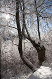 sun rays against winter forest Royalty Free Stock Images