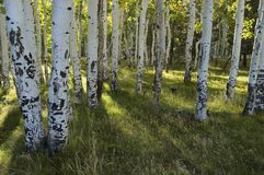 Sun Rays through Aspens. A backlit forest of aspens sends long shadows into the meadow Royalty Free Stock Photos