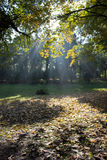 Sun rays in autumn forest Royalty Free Stock Photography