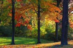 Sun rays through autumn trees. Colorful autumn trees in the park stock images