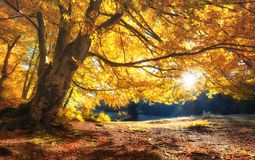 Sun rays through autumn trees. Natural autumn landscape in the forest. Autumn forest and sun as a background. Nature at the autumn time stock photography