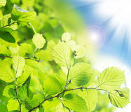 Sun Rays and Beech Leaves Royalty Free Stock Photo