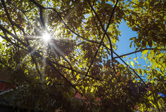 Sun rays through the branches of a tree. Color image Royalty Free Stock Image