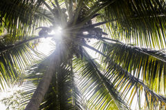 Sun rays through coconut tree Stock Image