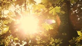 Sun rays through colorful autumn leaves, sepia tone stock video footage