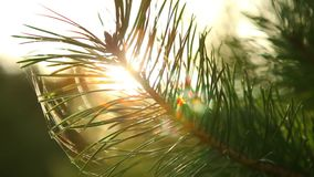 Sun rays comes up through pine tree at sunrise. Shot taken with a Canon 5D Mark2 - 1920x1080, 25fps stock footage