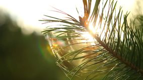 Sun rays comes up through pine tree at sunrise. Shot taken with a Canon 5D Mark2 - 1920x1080, 25fps stock video