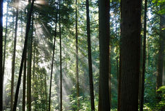 Sun Rays Crossing A Misty Fore