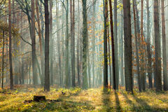 Sun rays crossing a misty forest in an early autumn morning Royalty Free Stock Image