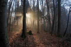 Sun rays crossing misty forest Royalty Free Stock Photo