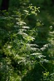 The sun rays through the crowns of trees illuminate the wild grasses. Scrophularia royalty free stock images