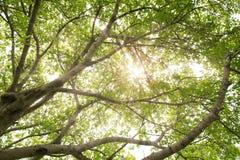 Sun rays das Glänzen durch Bäume Lizenzfreies Stockbild