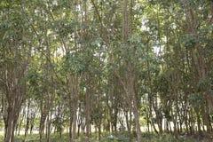 Sun rays das Glänzen durch Bäume Stockfotografie