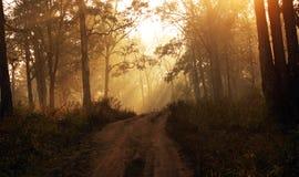 Sun rays dentro una foresta nebbiosa durante l'alba Fotografie Stock Libere da Diritti