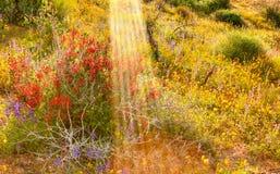 Sun rays. Early morning sun rays raining on blooming desert royalty free stock photo